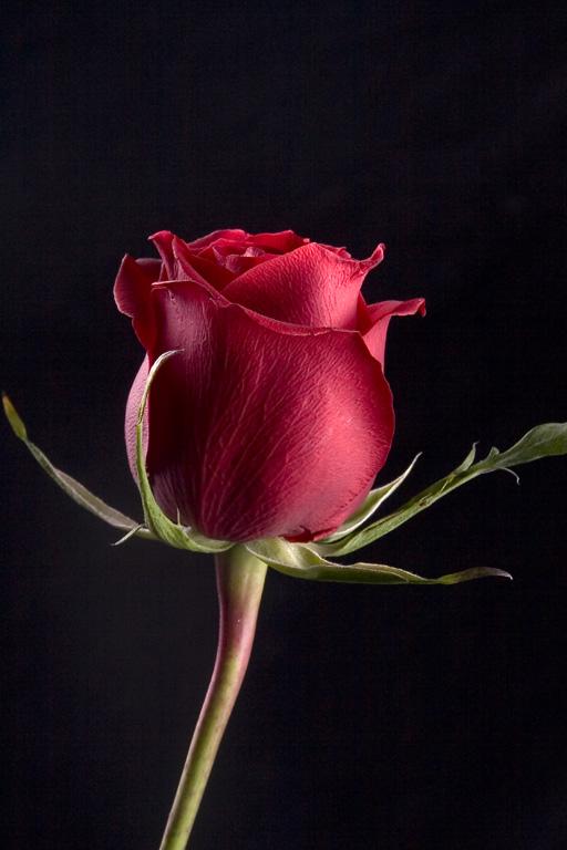 Rosa rossa di san valentino