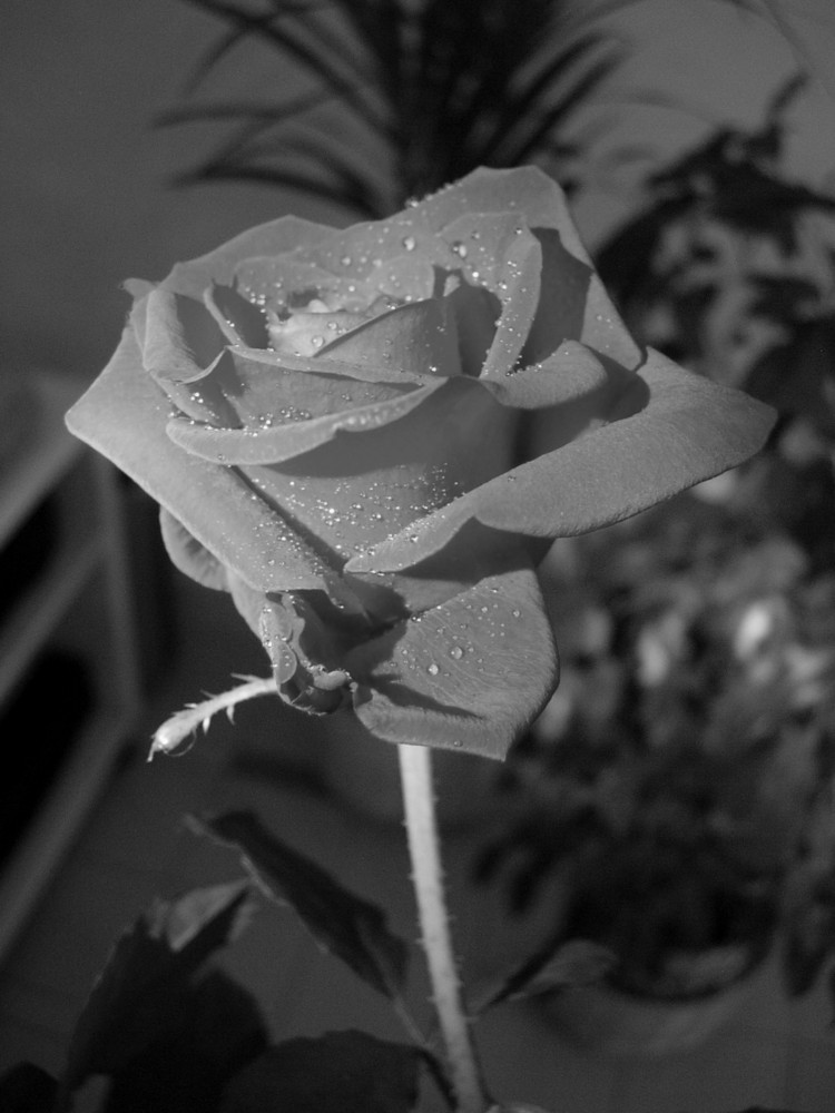 ROSA ROSSA XXX