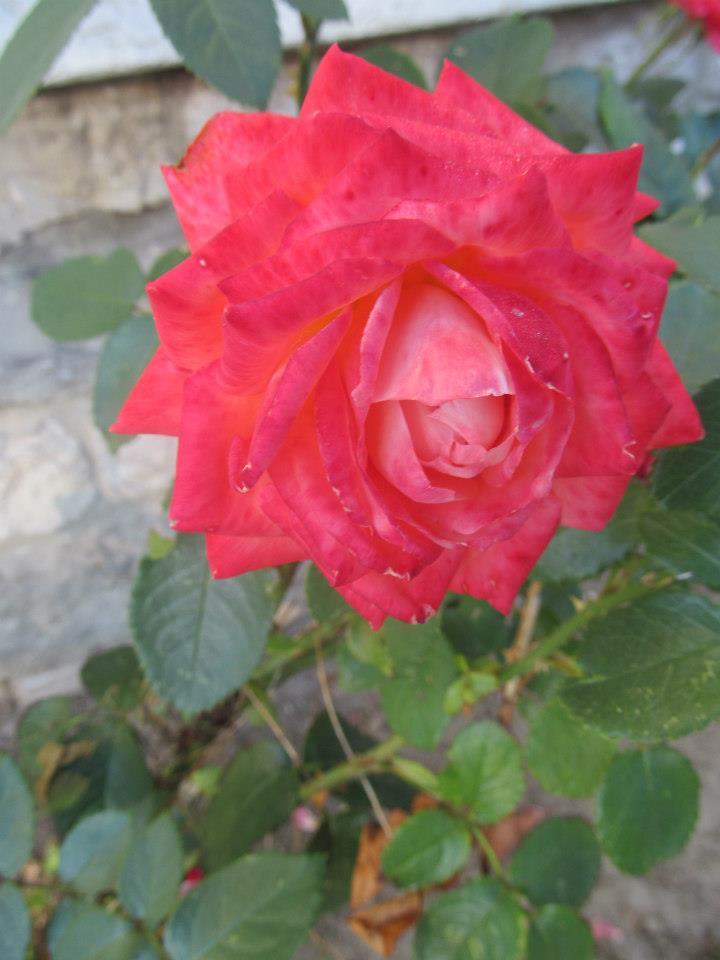Rosa Rote Rose