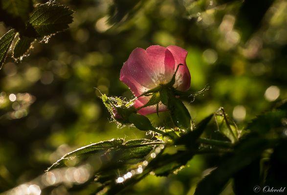 Rosa rubiginosa.