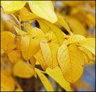 Rosa Rugosa im gelben Herbstgewand
