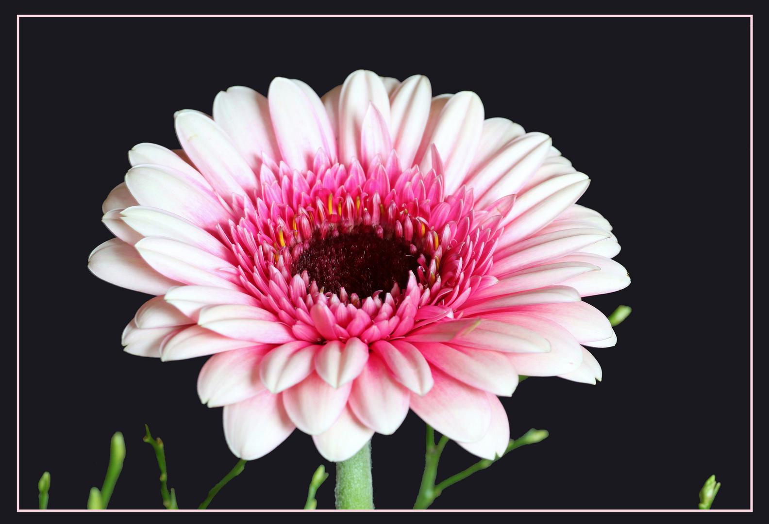 rosa schön