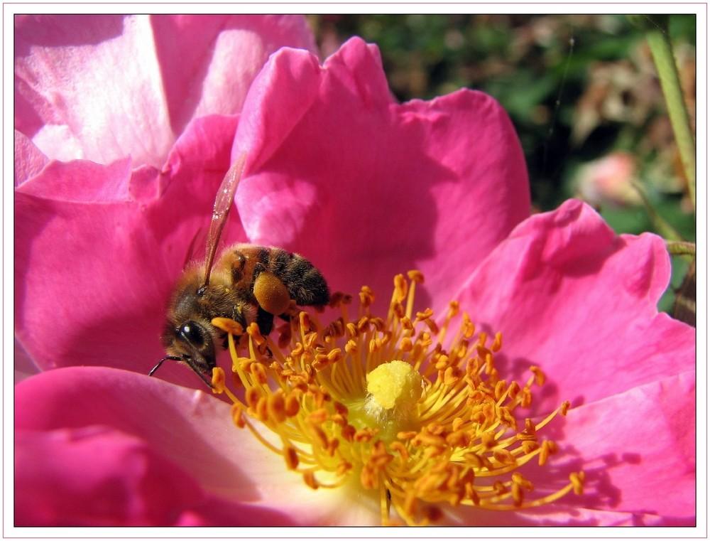 Rosa selvatica con ospite