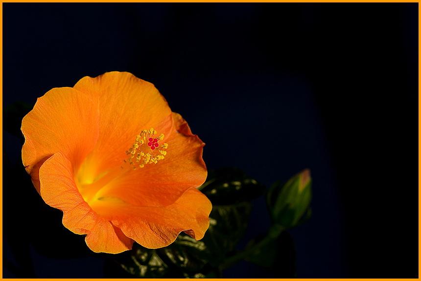 Rosa - Sinensis