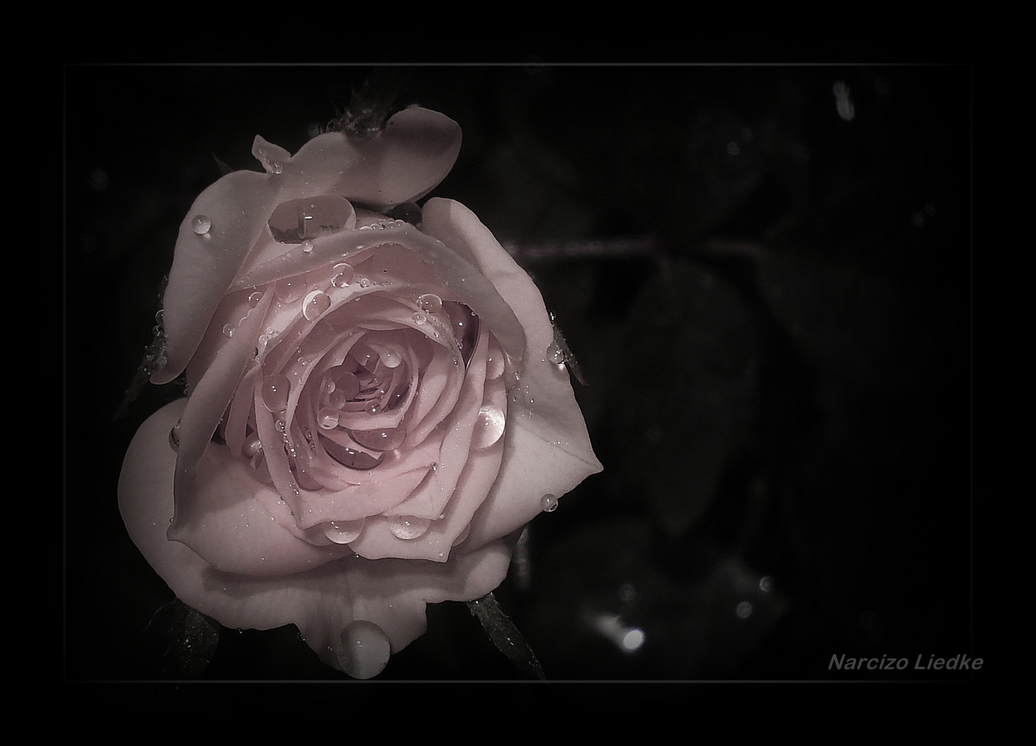 Rosa - Somente uma rosa