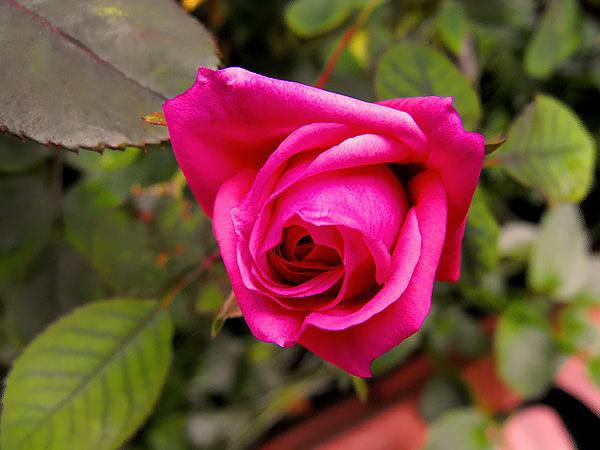 rosa sul balcone