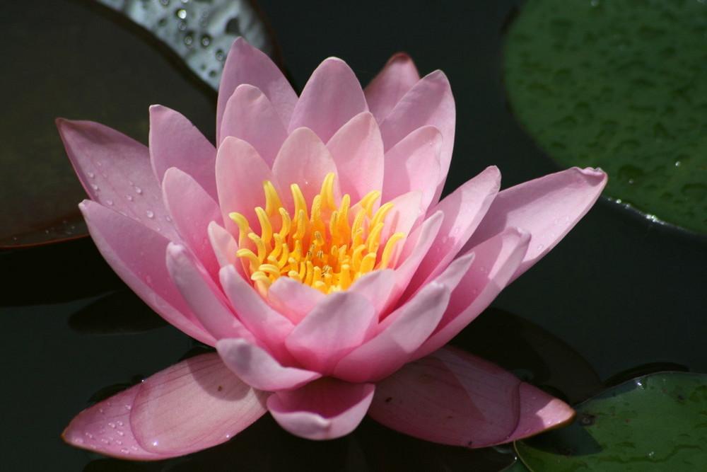 rosa Teichrose