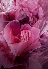rosa Träume