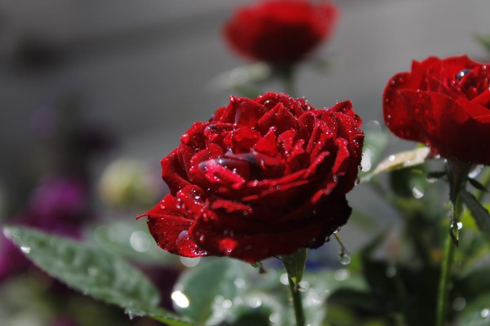 Rosa tras la lluvia