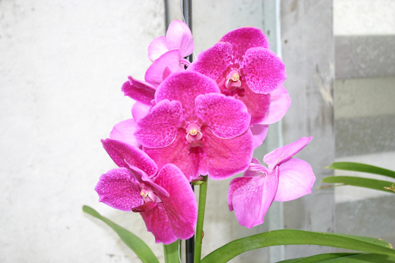 Rosa Traum (Orchidee)