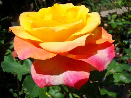 Rosa Tricolor