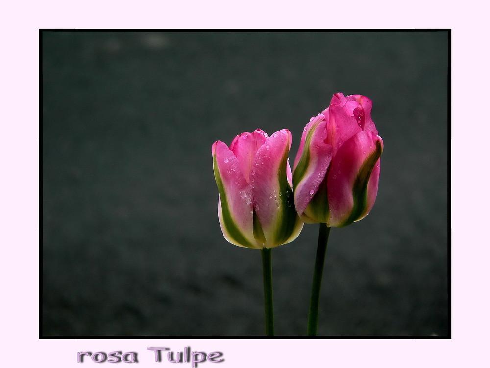 """rosa Tulpe"""