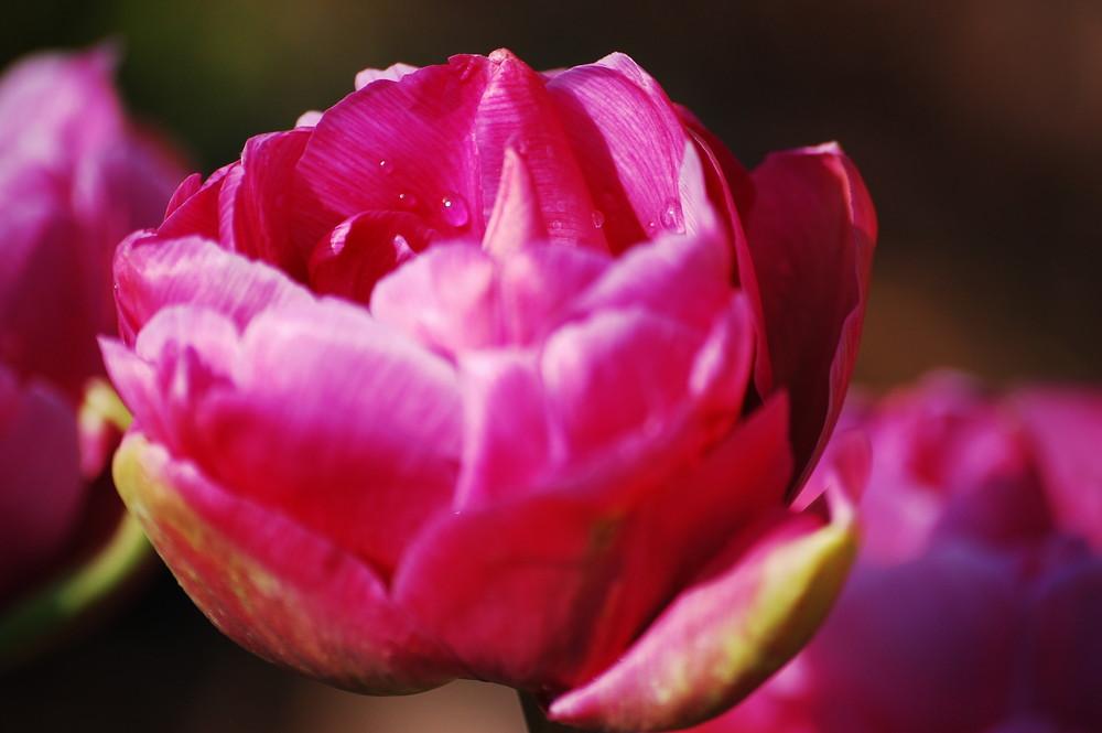 rosa Tulpe mit Morgentau