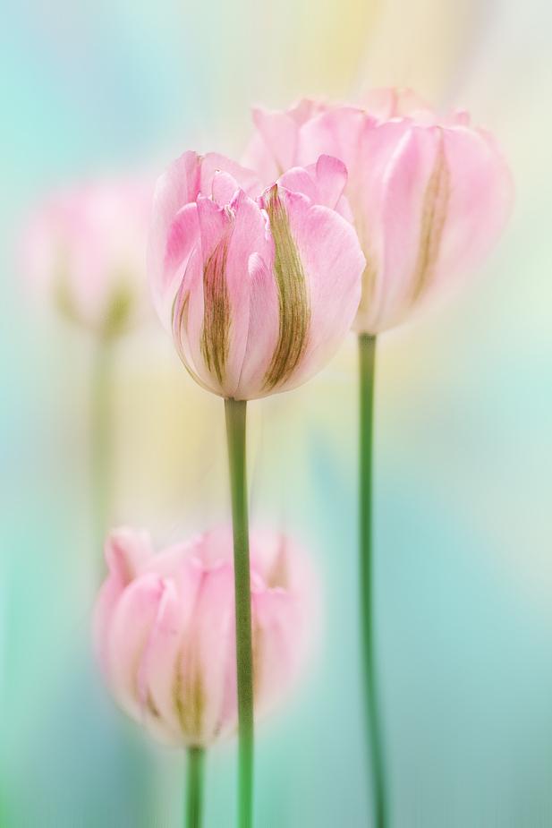 rosa tulpen foto bild pflanzen pilze flechten bl ten kleinpflanzen tulpen bilder auf. Black Bedroom Furniture Sets. Home Design Ideas
