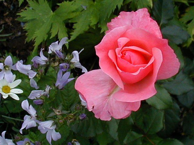 Rosa und Blau