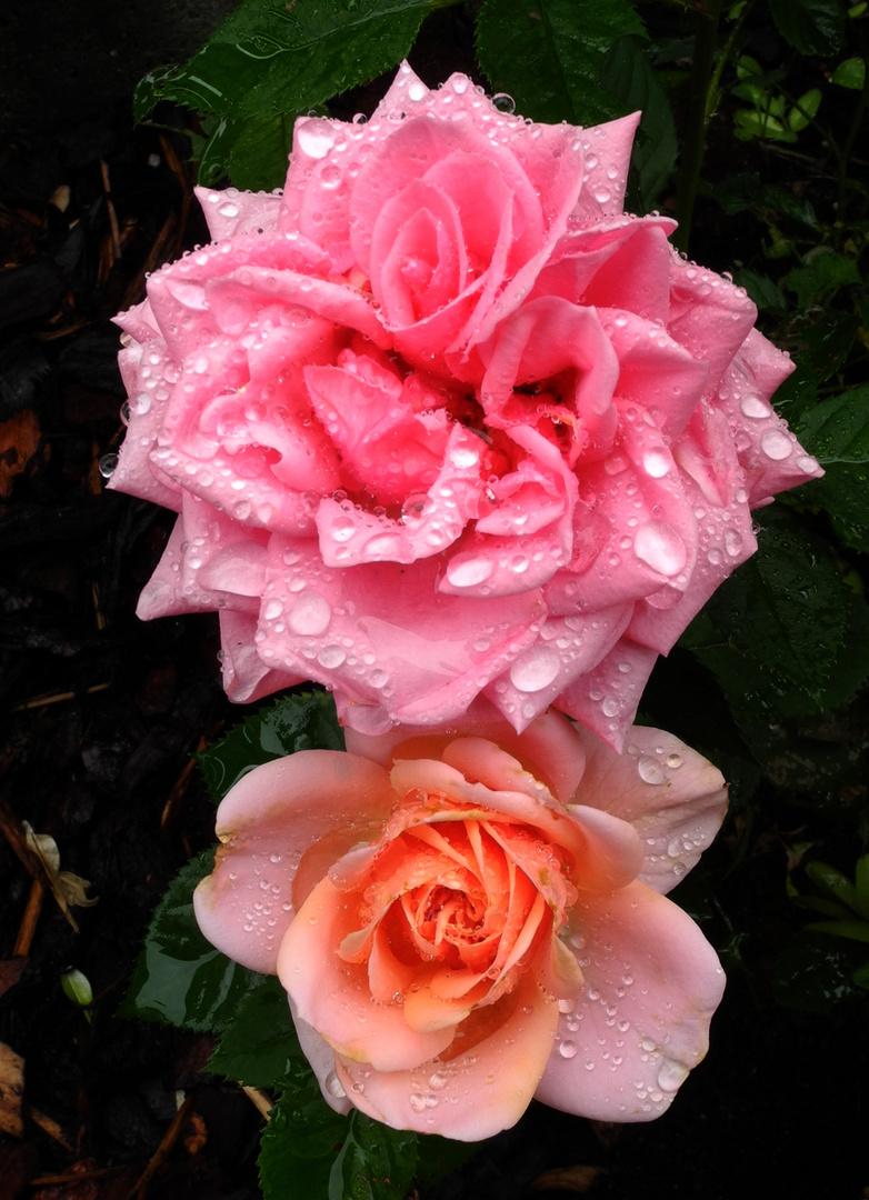 Rosa und Orange