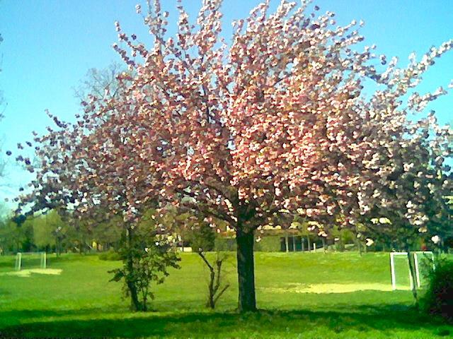 rosa verde blu (prunus serrulata-ciliegio giapponese)
