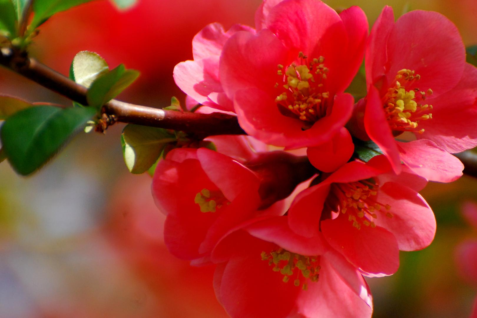 rosa Wolke