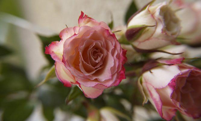 Rosa Zauber 2
