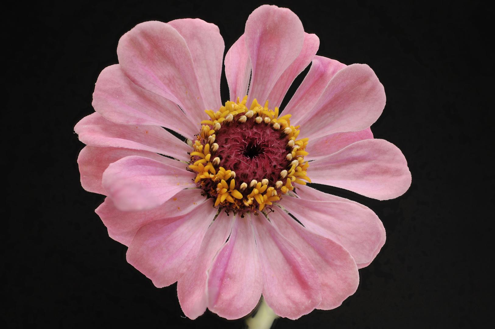 rosa Zinnie