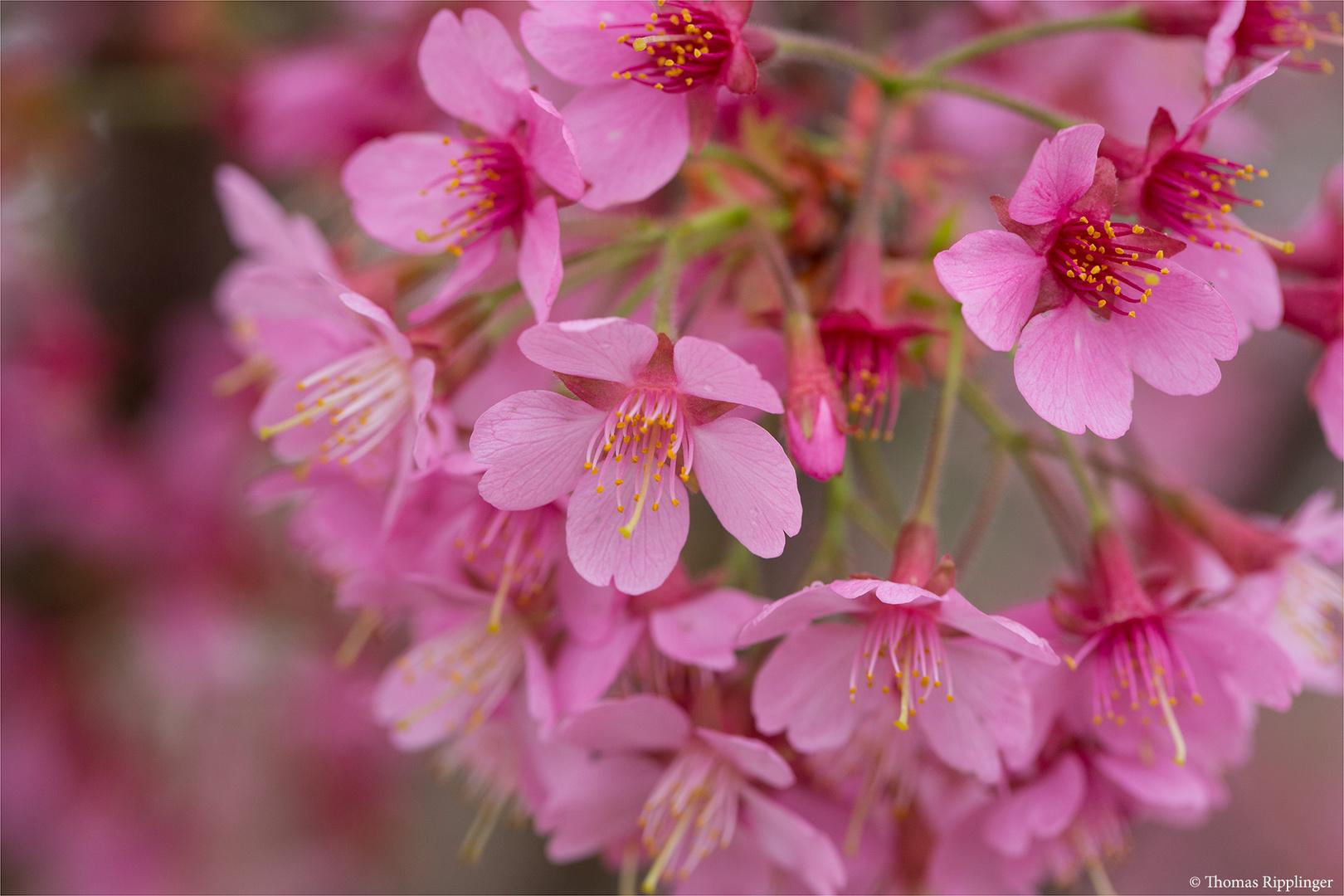 Rosablühende Zierkirsche (Prunus Kursar).