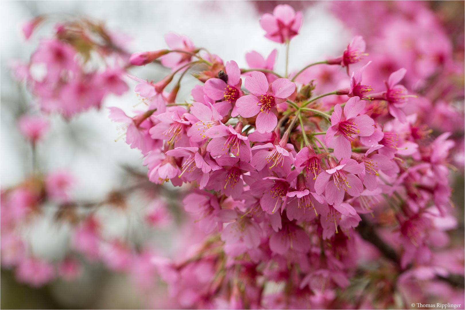 Rosablühende Zierkirsche (Prunus Kursar)