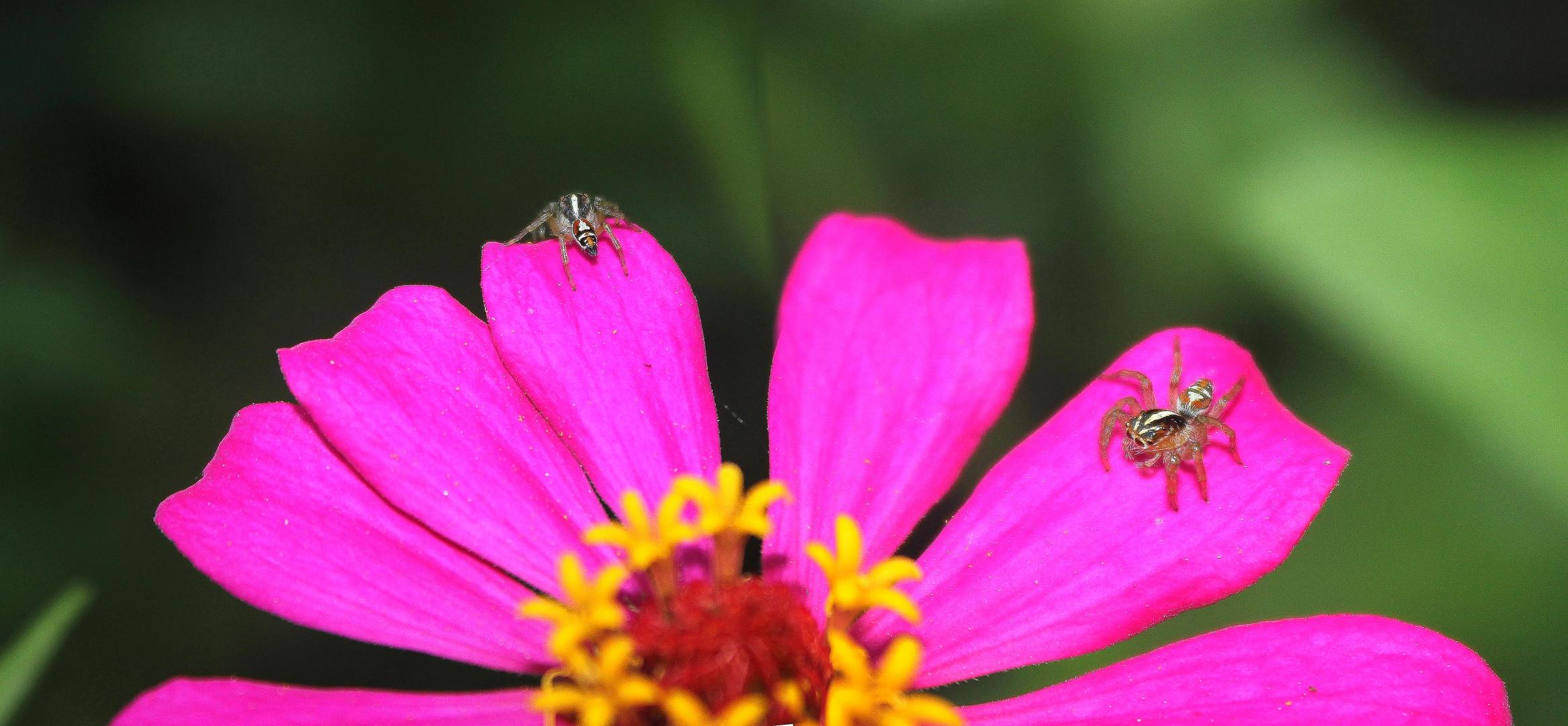 rosada y arañitas