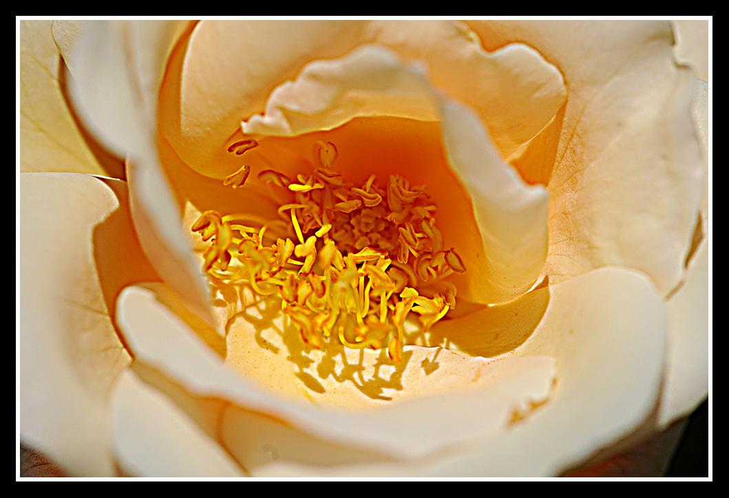 Rosae XXV