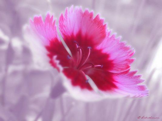 rosaflower