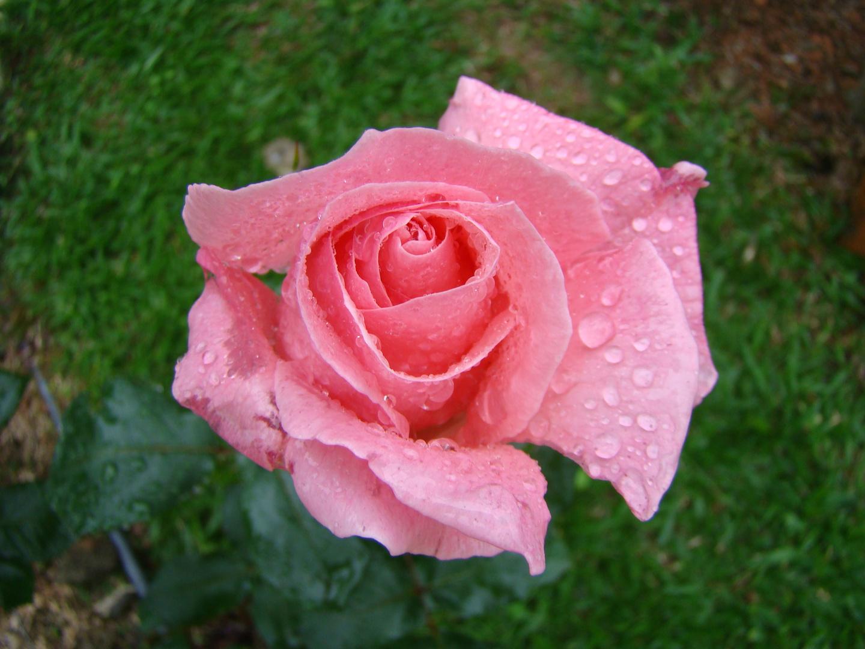Rosa...mi jardin