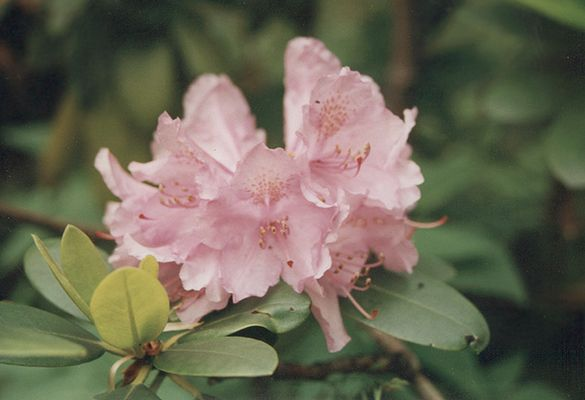 """RosaRhododendron"""