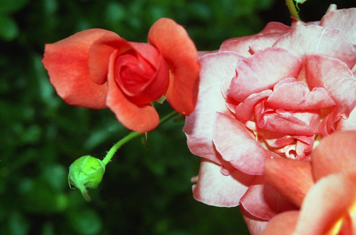 Rosa...rosa