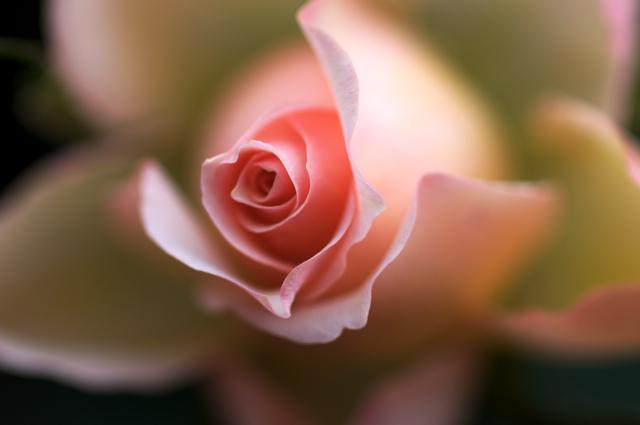 Rosa......rosa