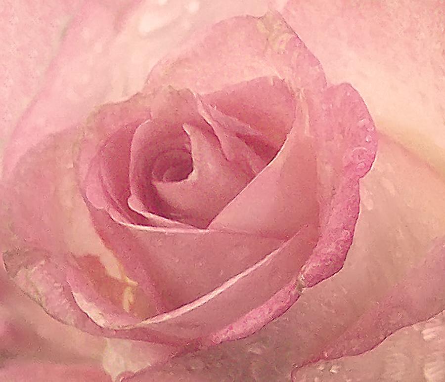 ----- rosa...rosae -----