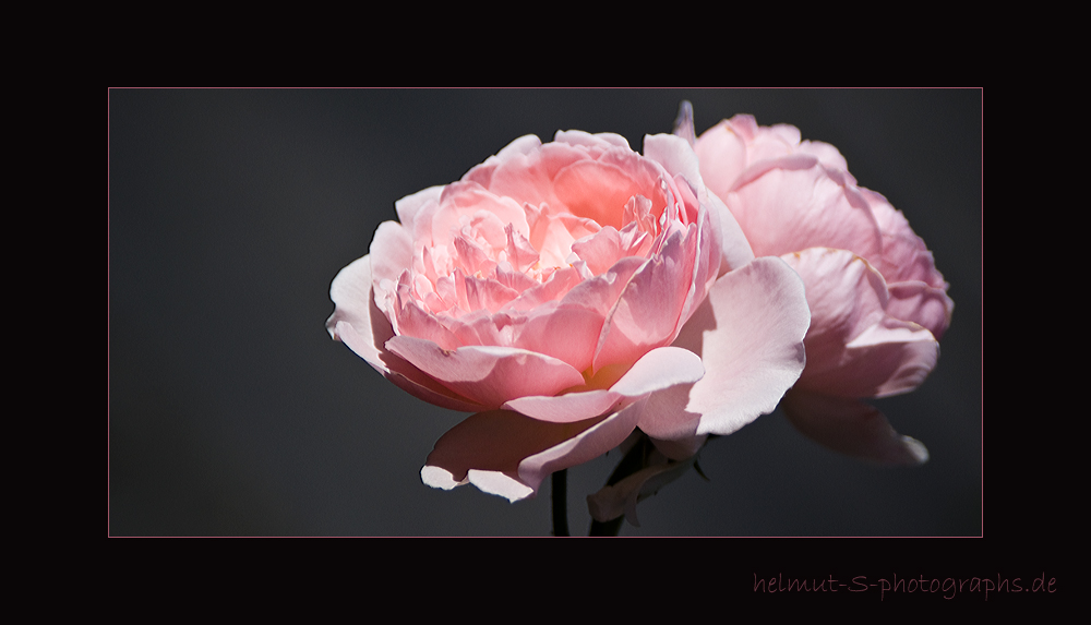 ~ rosarose-3 ~