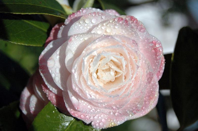 Rosarote Blüte