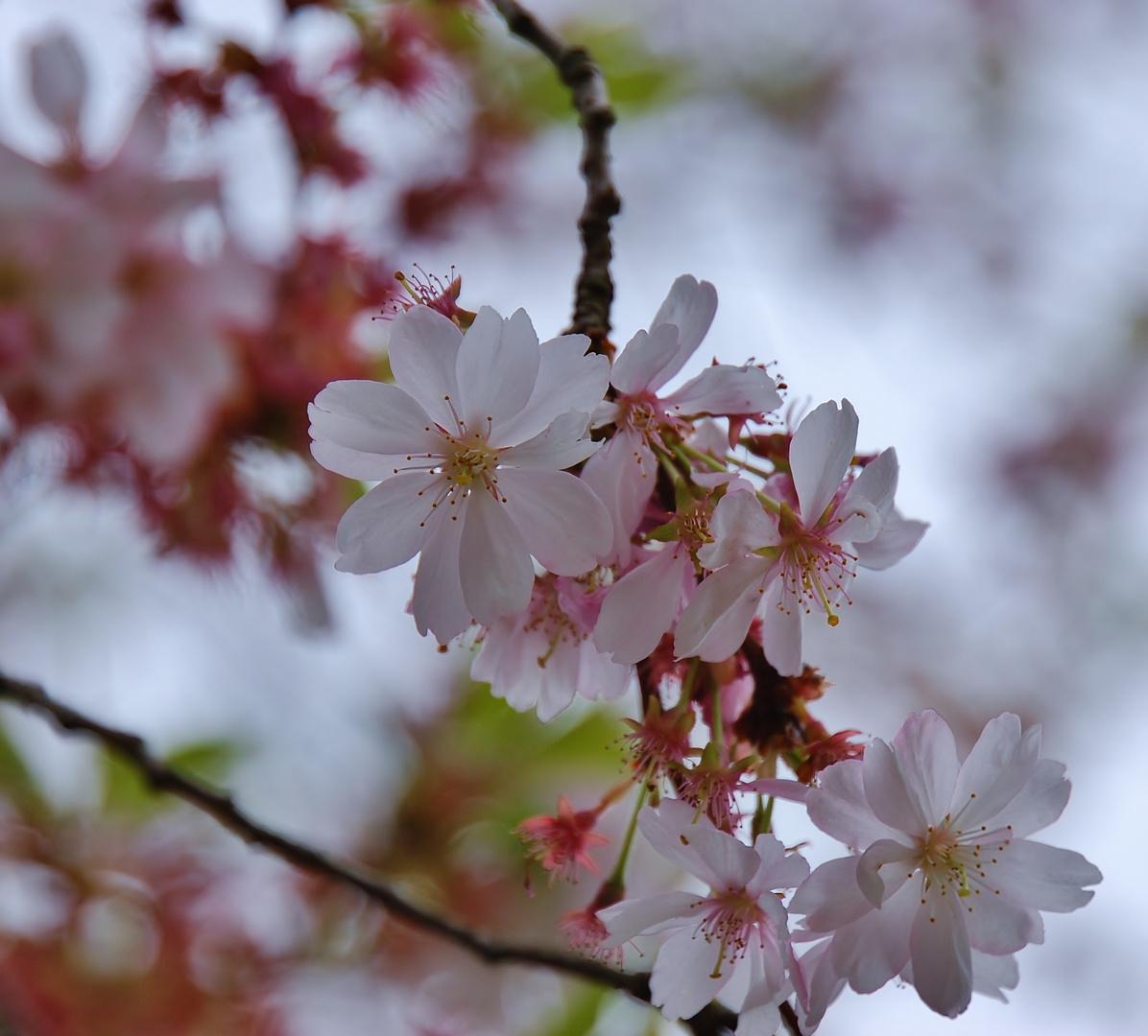 Rosarote Blütenpracht