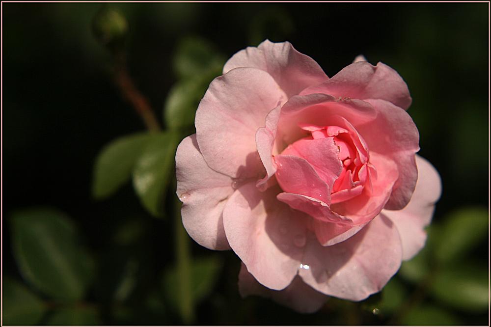 Rosarote Rose zur Nacht