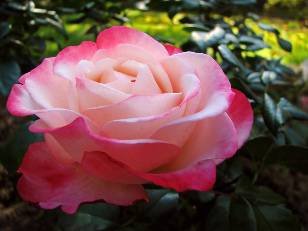 Rosarotes Röschen
