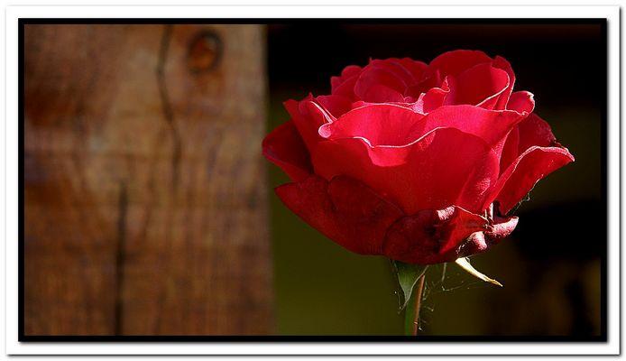 Rosa........Rustica!!!!!!