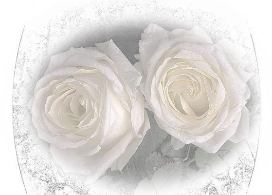 Rosas angelicales