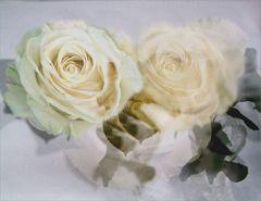 Rosas blancas - Weiße Rosen