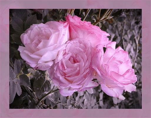 Rosas del verano 2016