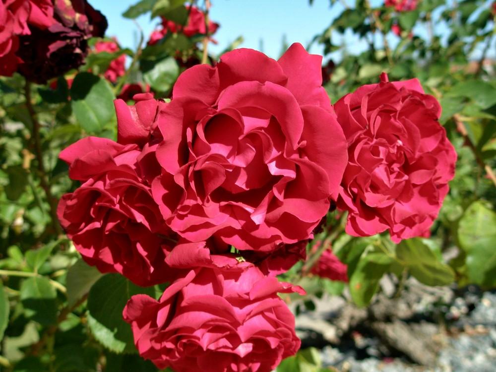 Rosas rojas