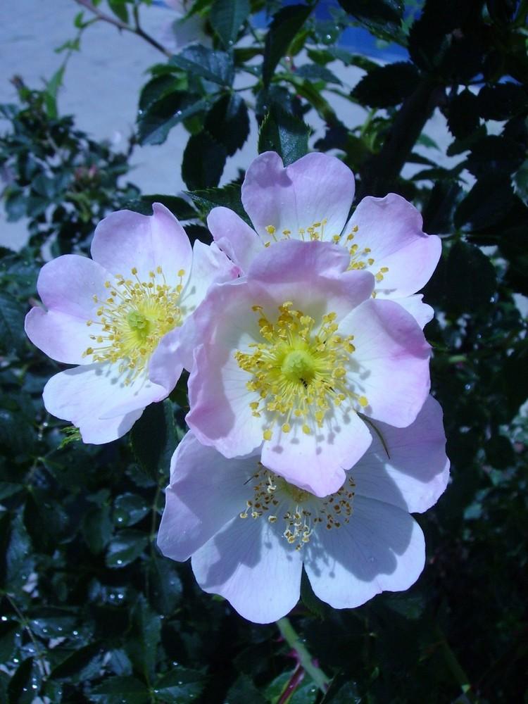 rosas salvajes