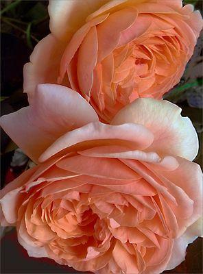 Rosas  vistas de cerca