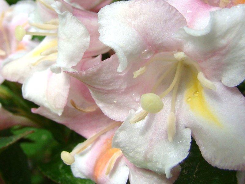 rosazart
