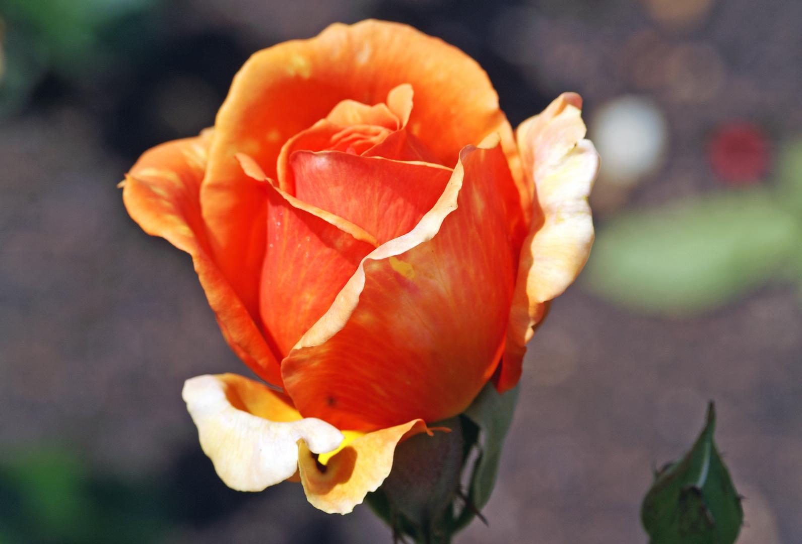 Rose 04 2013