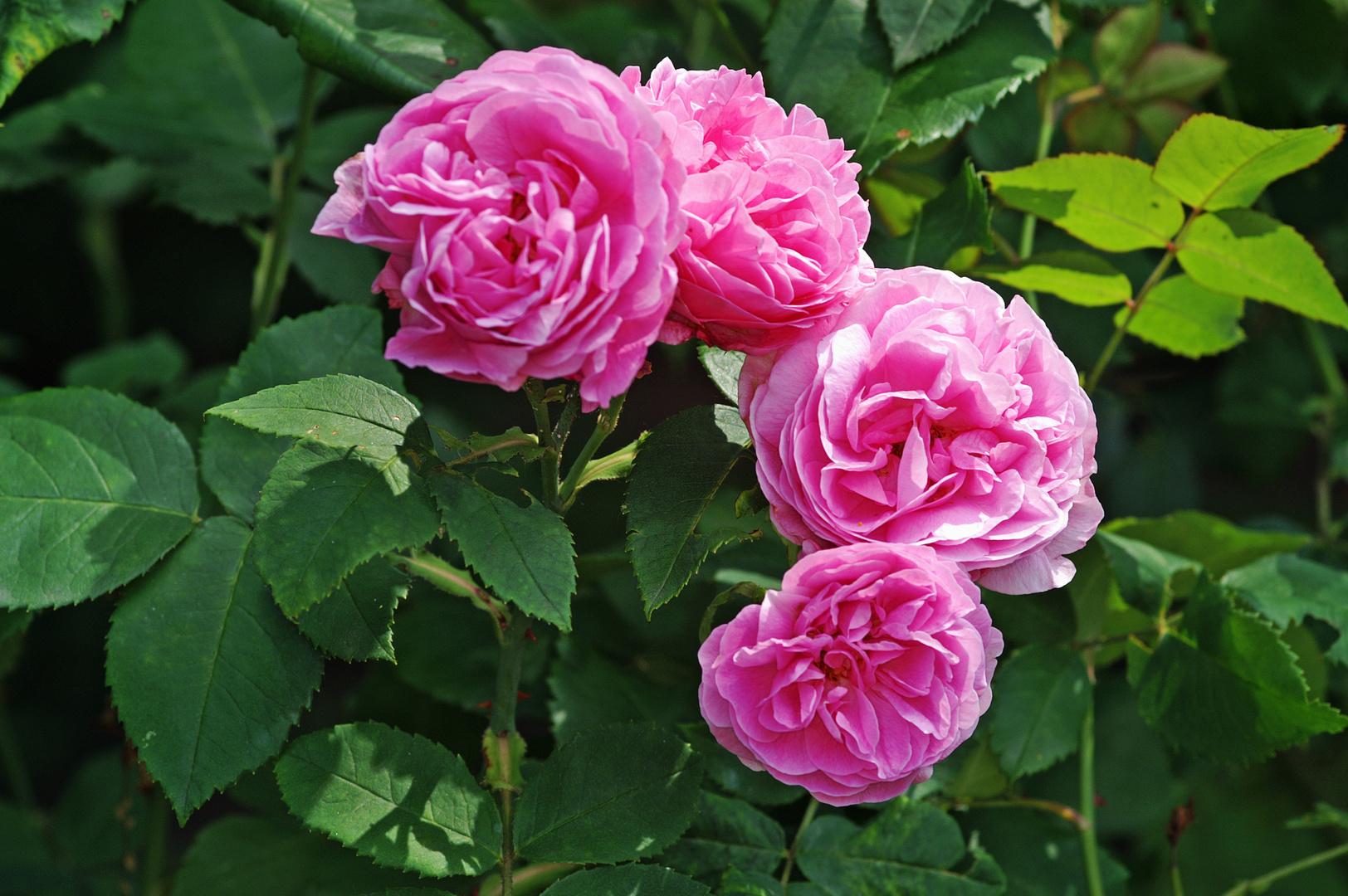 Rose 07 2013