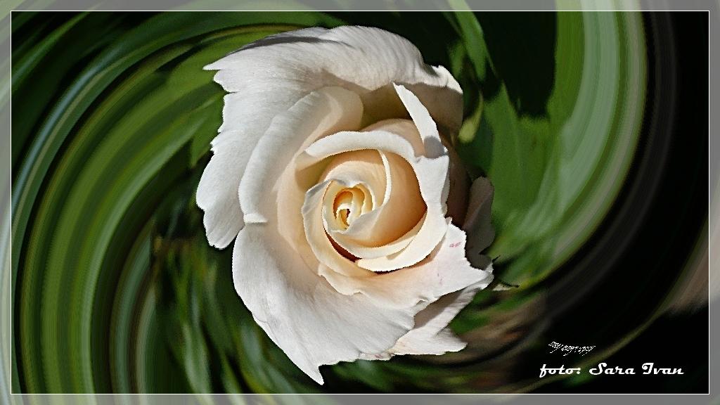 ---Rose---1